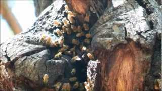 European Honey Bee Hive in Tree Trunk, Poway, California