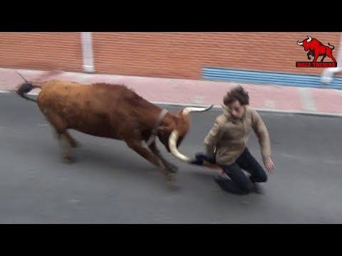 Cogida De Un Buey En El II Toro De La Salchicha. Zaratán. 2 Noviembre 2019