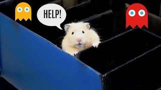 Cute Hamsters Play Pac-Man | Hamṡter Challenge | Hamster Fun!