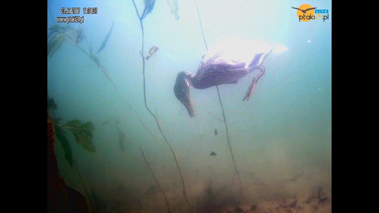 Nurkująca kaczka w Jeziorze Solińskim w Bieszczadach