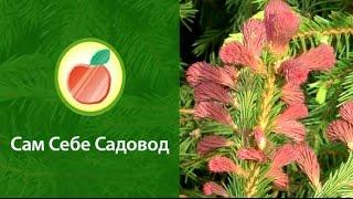 Ель Rubra Spicata