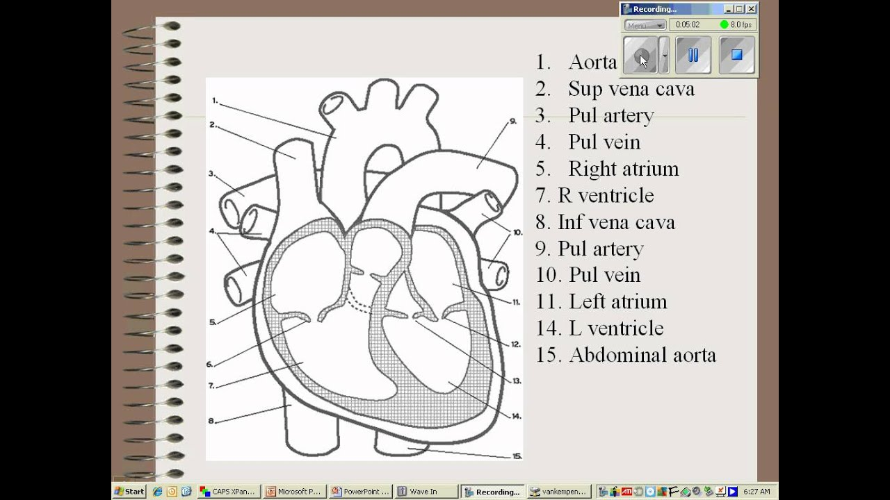 Cardiovascular System Notes Essay Sample