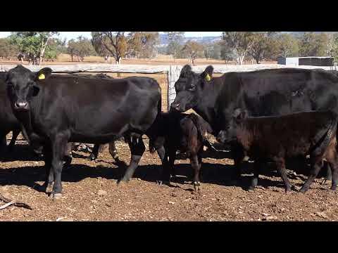 Dunnett Rural Properties 17x17 Angus Cows & Calves