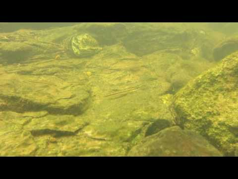 Gobiocichla ethelwynnae (Cross River, Mamfé, Cameroon)