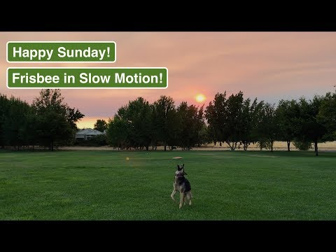 Slow Motion! German Shepherd catching Frisbee - Sunday Walk with our dog & Frisbee action