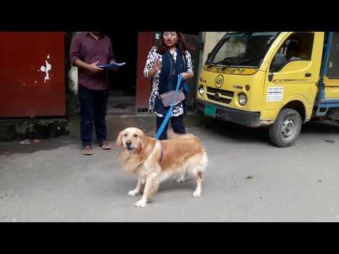 Golden Retriever @ Vet in Dhaka  @ Dr. Sagir's Pet Clinic 01912251312