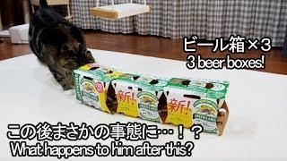 ビール箱×3なねこ。-3 beer boxes and Maru.-