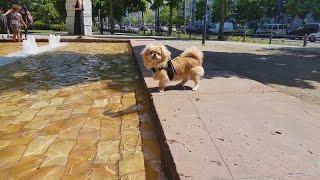 Кекс. Парк. Фонтан. Другие собаки (Пекинес / собака)