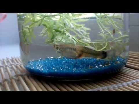 Рыбки. Самка гуппи рожает мальков. The female guppy gives birth to fry