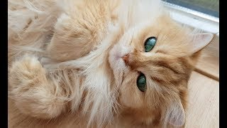 Golden Fur, Emerald Eyes And Black Toe Fluff