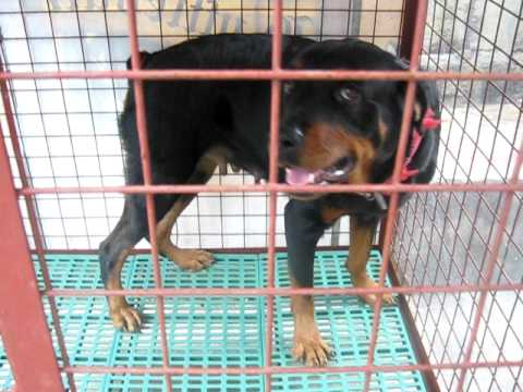 What size kennel for a rottweiler