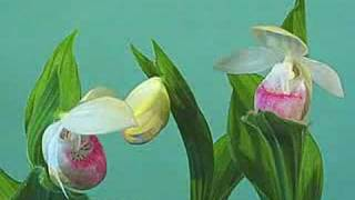 Showy lady slipper - Cypripedium reginae - flower opening