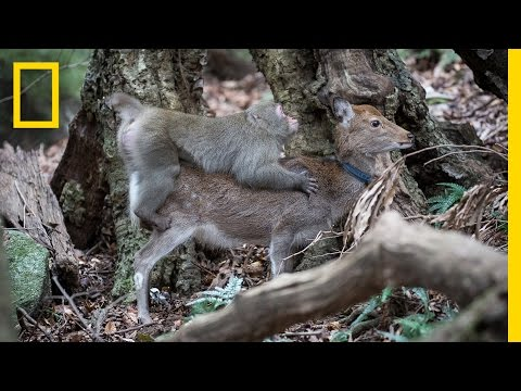 Thumbnail: Monkey Tries to Mate With Deer (Rare Interspecies Behavior) | National Geographic
