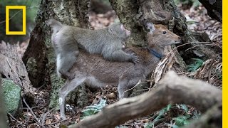 Download Video Monkey Tries to Mate With Deer (Rare Interspecies Behavior) | National Geographic MP3 3GP MP4