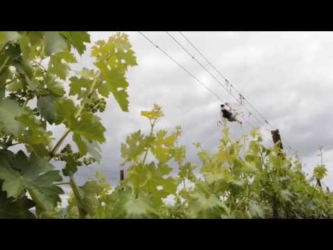 Remote-Controlled Helicopter Being Used in Napa Vineyard