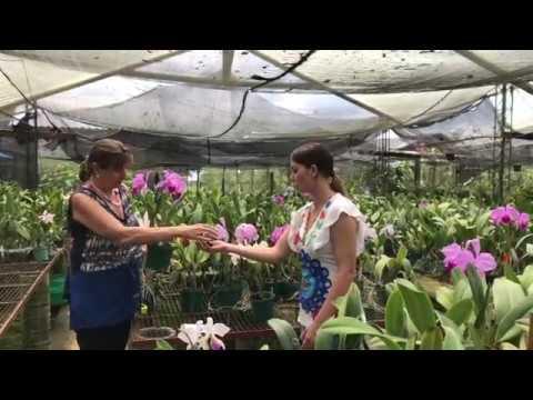 Как выращивать каттели (Cattleya)
