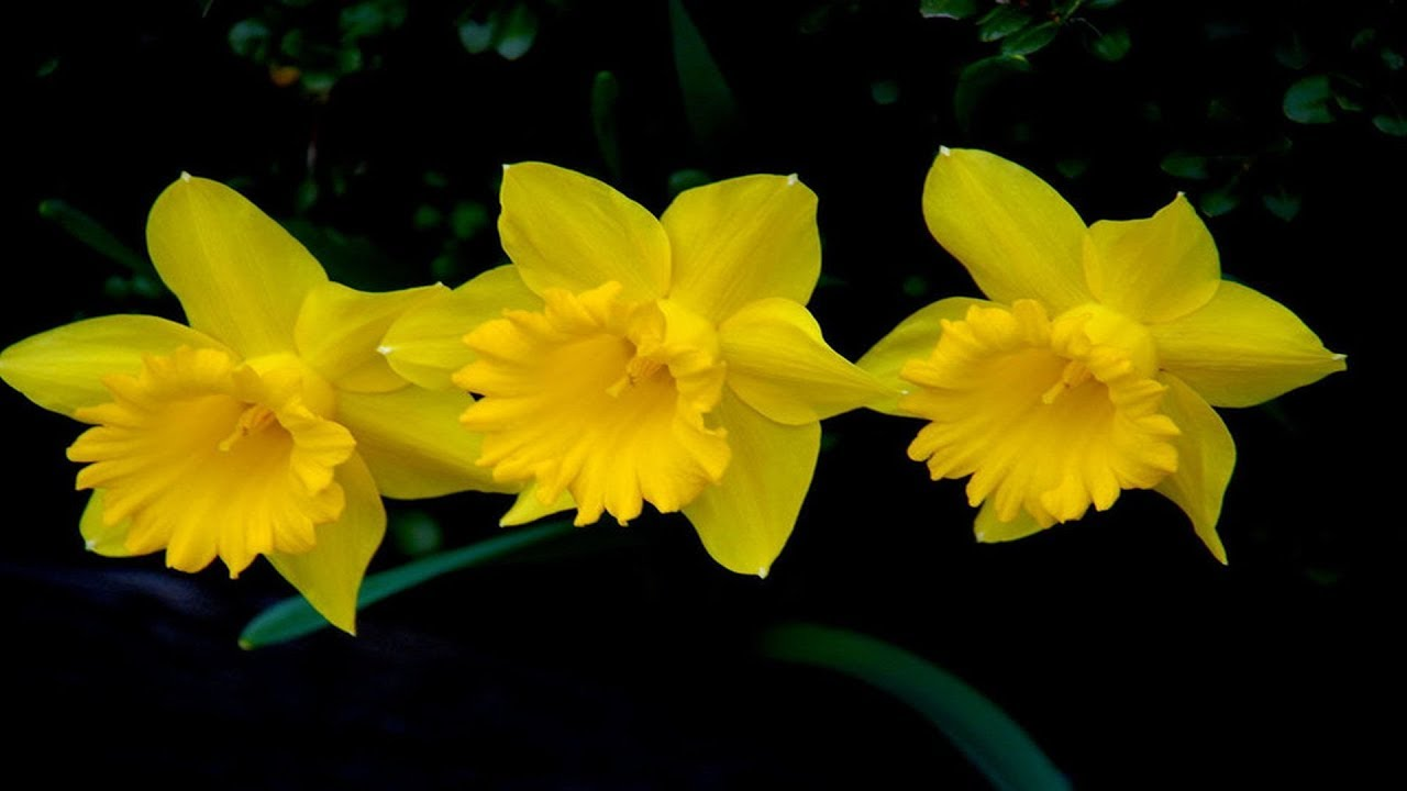 Spring Flowers Daffodils Music By Tim Janis Youtube