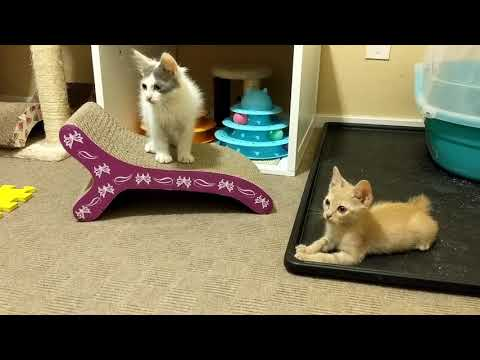 Japanese Bobtail Kittens ~ Finally out in the big room!