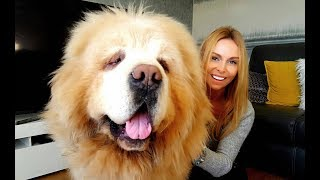 CHINESE TIBETAN MASTIFF - The World's Most Expensive Dog