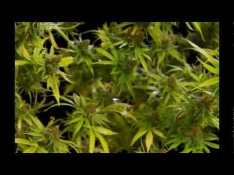Применение травы шалфей -