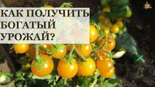 Богатый урожай томатов на подоконнике / Все секреты выращивания!