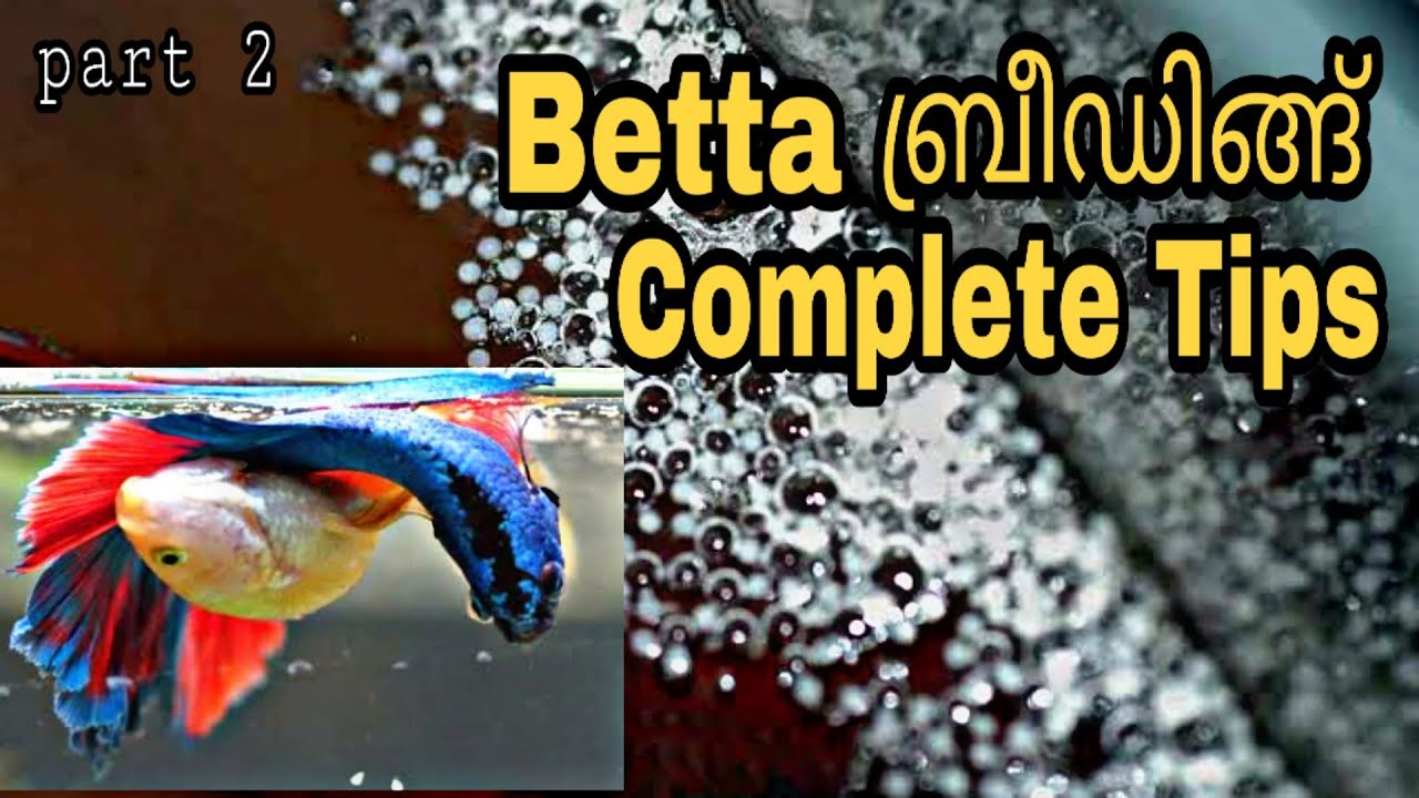 How to breed betta fish/Betta fish complete breeding tips/Betta fish complete breeding tips&care