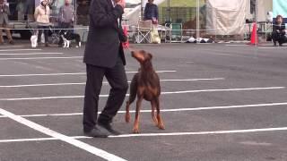 2012.11.23 愛媛県東予ベストファミリー愛犬クラブ展、ベストイン選の加...