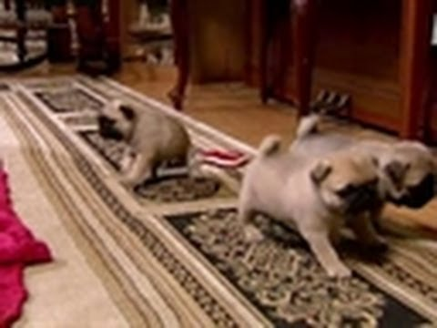 Puppy Pug Playtime | Too Cute