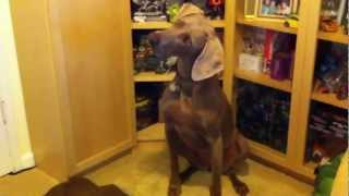 Zuul The Terrordog Sings To Talk Of The Nation Theme Song - Weimaraner