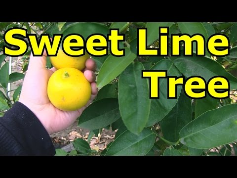 Sweet Lime Tree - Best For Juicing