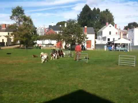 @porturtle [Animal Herding demo at Strawberry Banke toda...]