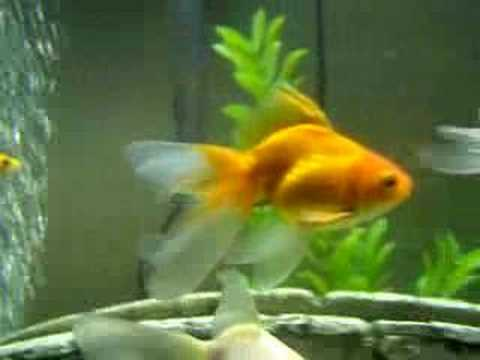 My goldfish co youtube for Fish good for pregnancy