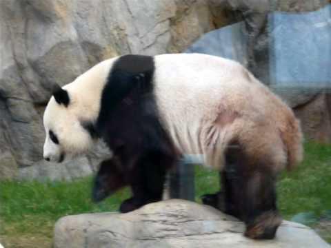 Panda's An An and Jia Jia