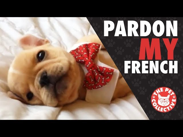 Pardon My French | French Bulldog Video Compilation