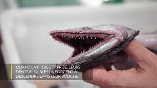 Le monstrueux poisson-lézard
