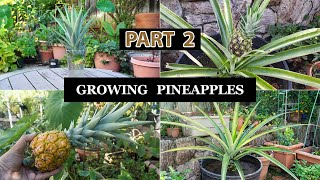 The Joy Of Growing Pineapples - Part 2