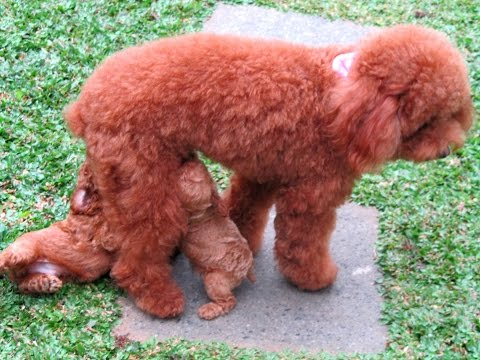 CUTE! 45-Days-Old Toy Poodle Puppies Running & Playing
