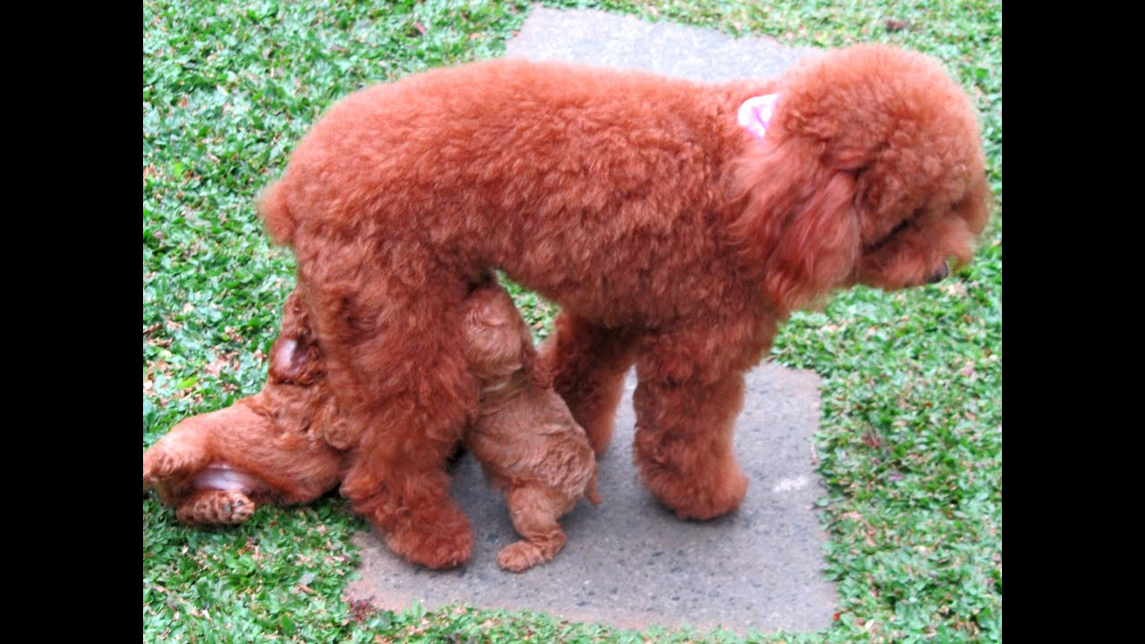 Cute 45 Days Old Toy Poodle Puppies Running Playing Youtube