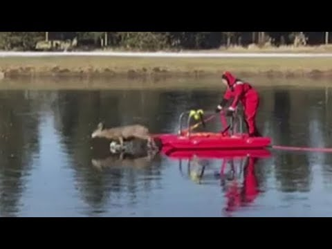 Bambi on ice deer rescued from frozen pond youtube - Bambi on ice images ...