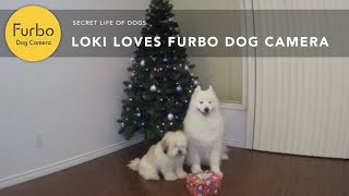 Loki Loves Furbo Dog Camera (Christmas Edition) | Furbo Dog Camera
