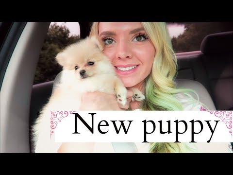 I GOT A NEW PUPPY!  Pomeranian puppy