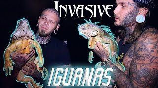 Catching HUGE Invasive Iguanas in South Florida ! And Why People are killing them!!