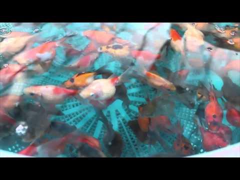 Peces ornamentales piura mis bettas doovi for Acuariofilia peces ornamentales