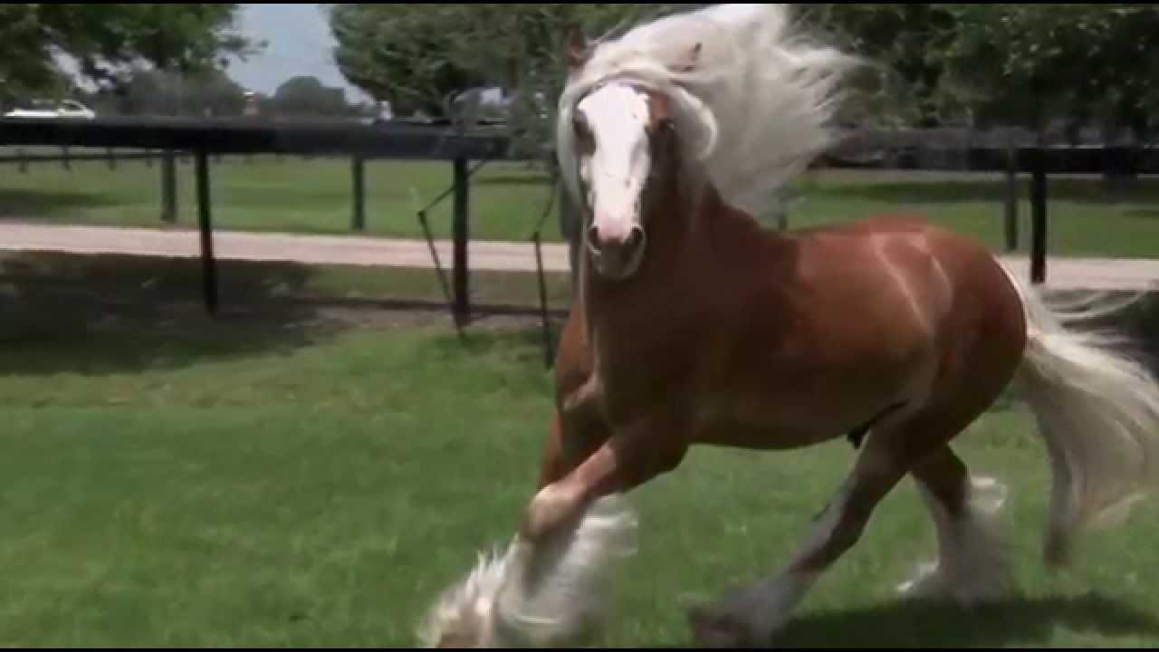 bdo how to get a black horse
