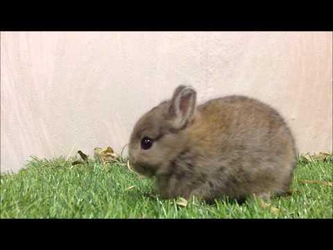 กระต่ายแคระ ND-Netherland Dwarf (OJ002-5) Allawa Rabbit Farm