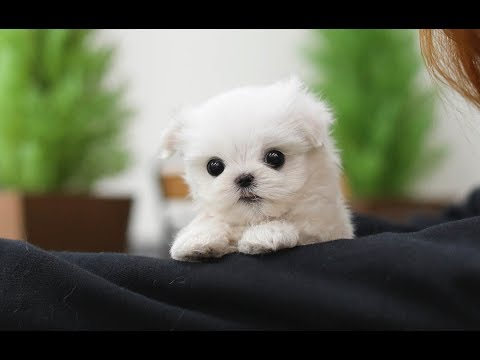 Cute Teacup Maltese Puppies Video Compilation - YouTube