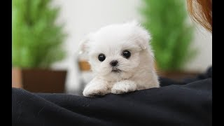 Cute Teacup Maltese Puppies Video Compilation