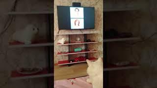 Кот смотрит сериал
