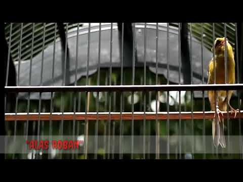 Download Lagu KENARI JAMBUL ISIAN GUNUNG KIDUL