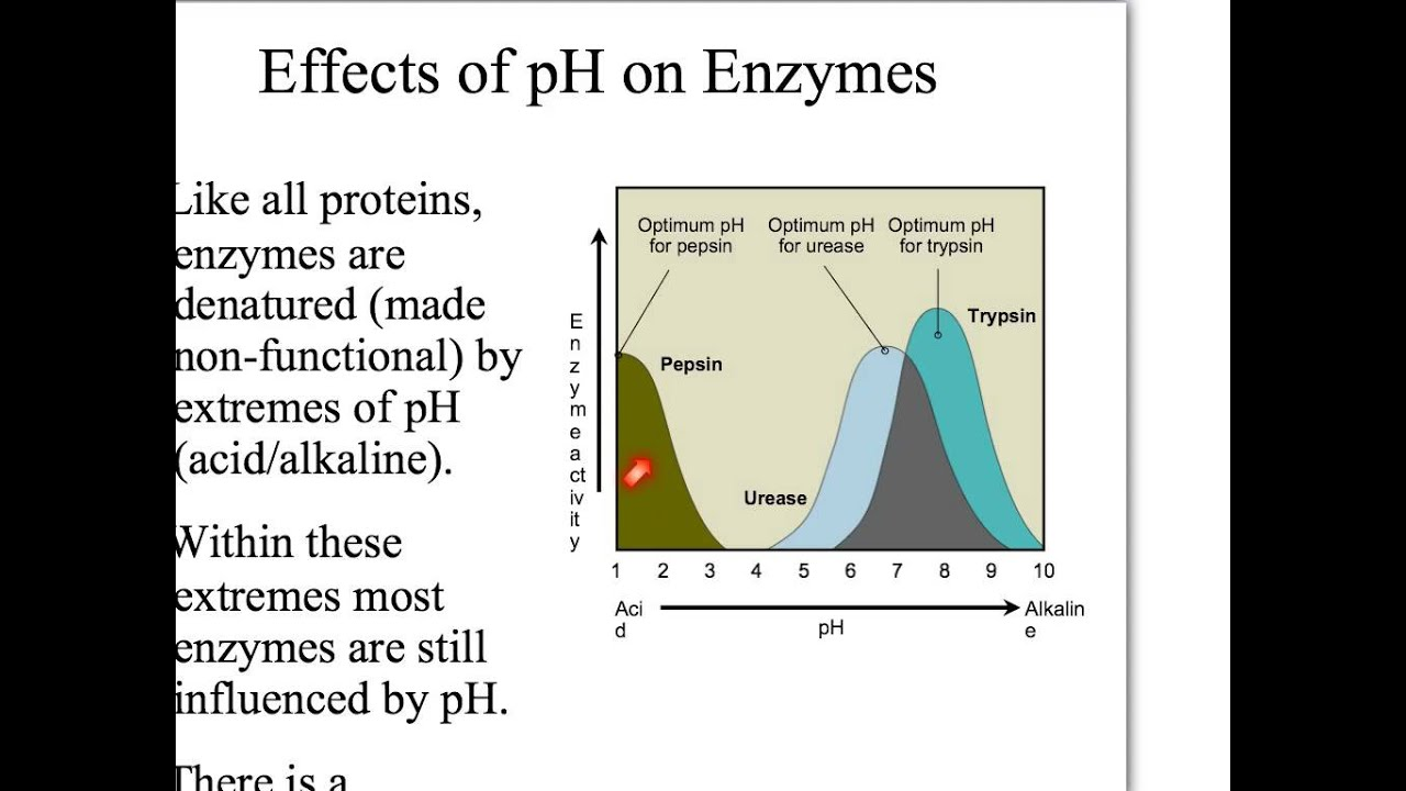effect of ph on protein digestion essay The digestive system is a reasonably complex set of organs that work collectively  to  each enzyme acts at a specific temperature, specific ph, and on a specific  substrate (food  the protein digestion starts in the stomach and continues to the  small intestine,  how can i write an essay question on enzymes in digestion.